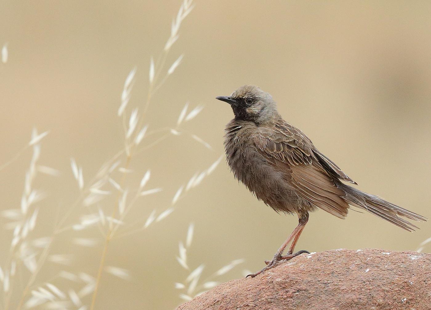 Brown Songlark (Image ID 33858)