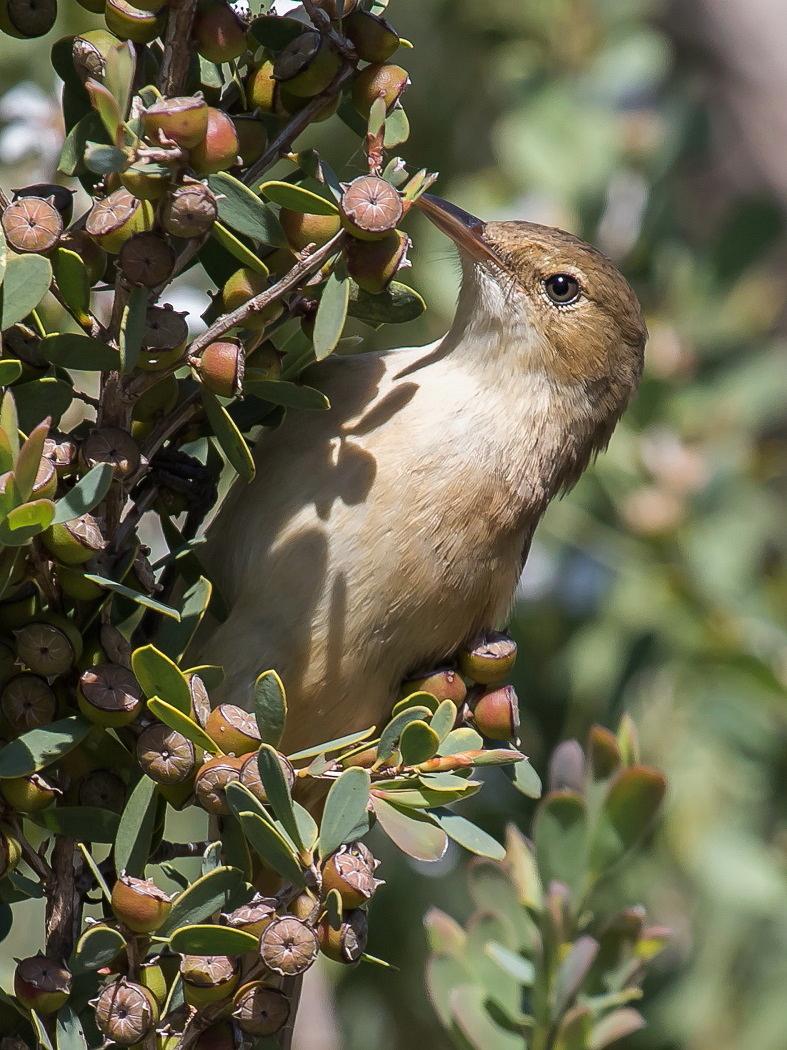 Australian Reed-Warbler (Image ID 33524)