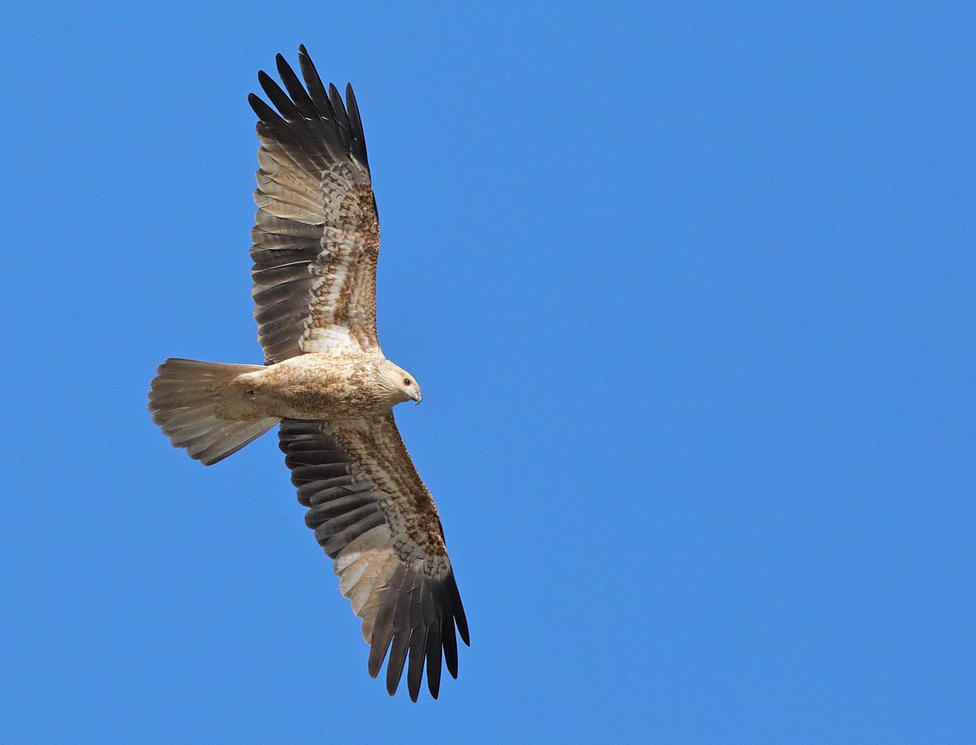 Whistling Kite (Image ID 33382)