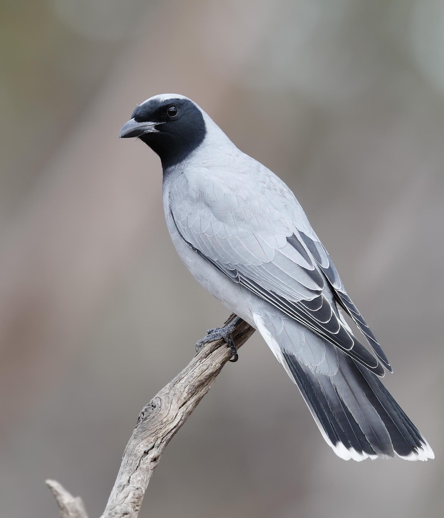 Black-faced Cuckoo-shrike (Image ID 33577)