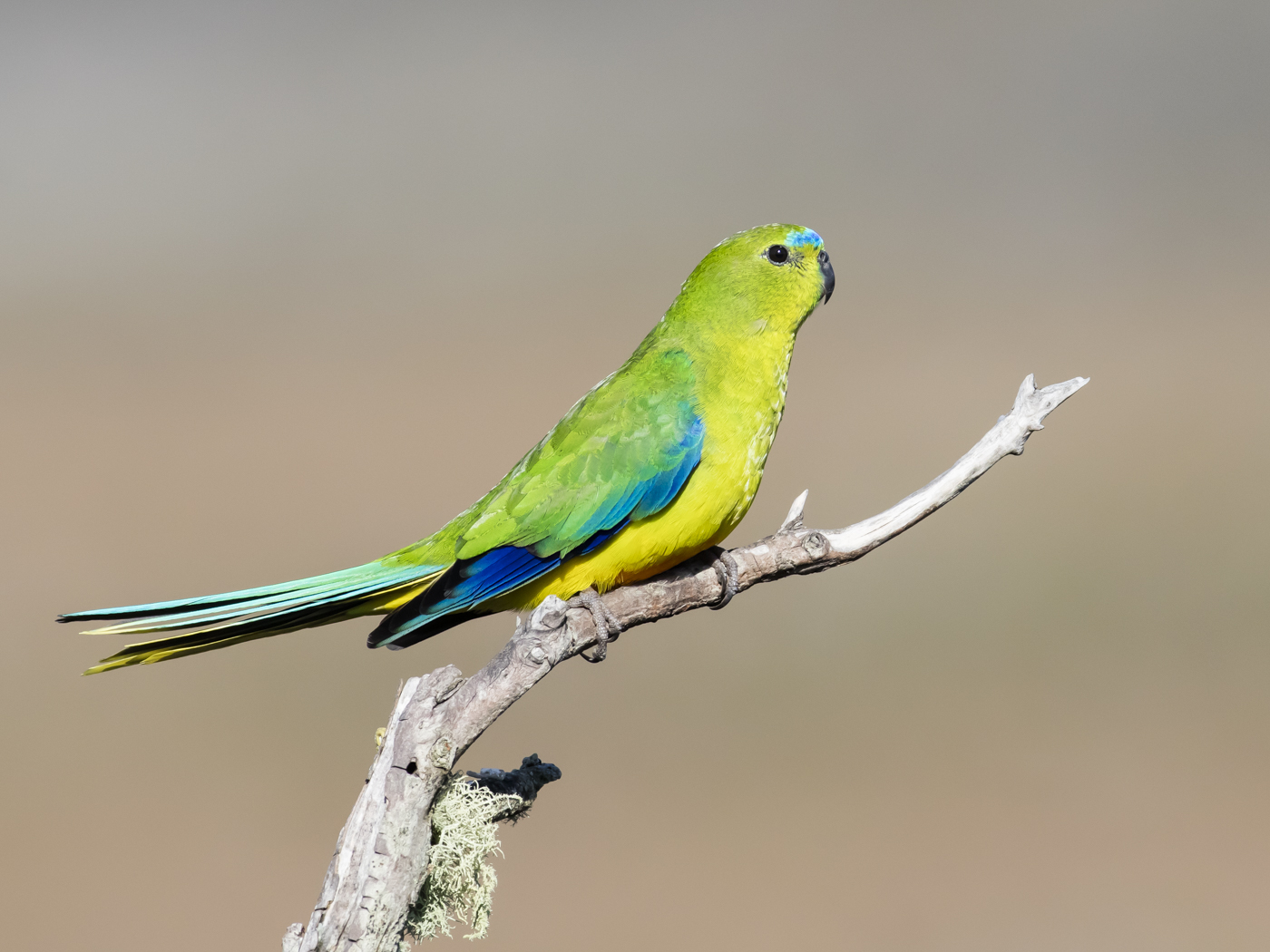Orange-bellied Parrot (Image ID 33301)