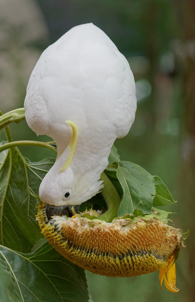 Sulphur-crested Cockatoo (Image ID 33715)