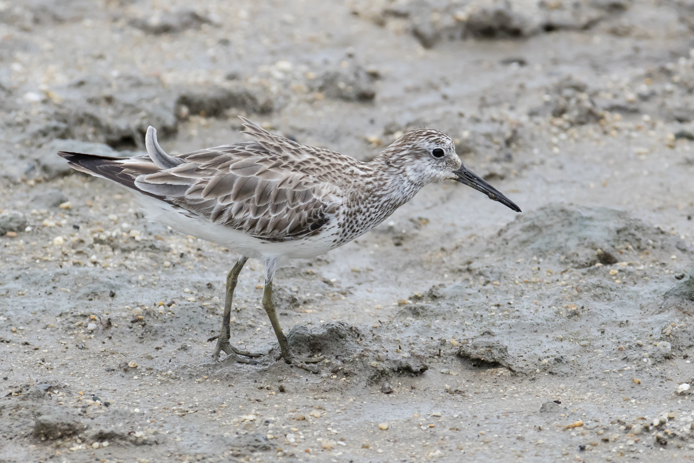 Great Knot (Image ID 33864)