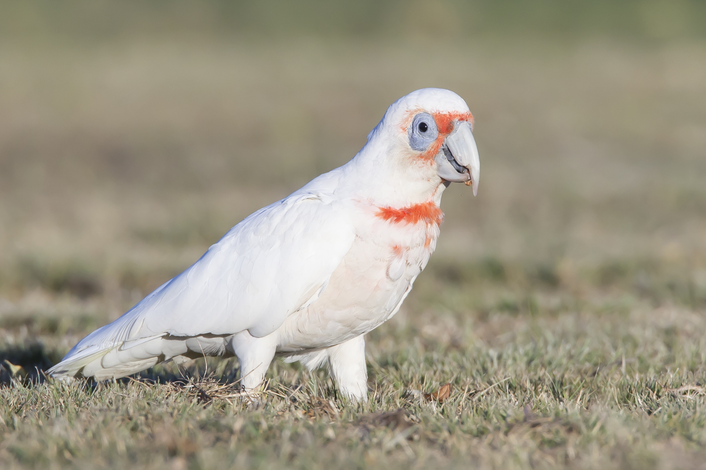 Long-billed Corella (Image ID 33552)