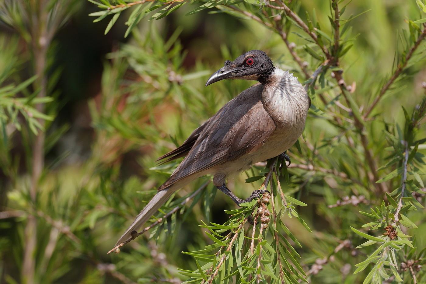 Noisy Friarbird (Image ID 33297)