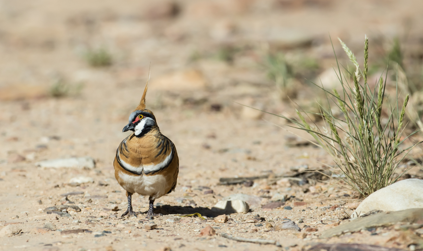 Spinifex Pigeon (Image ID 33884)