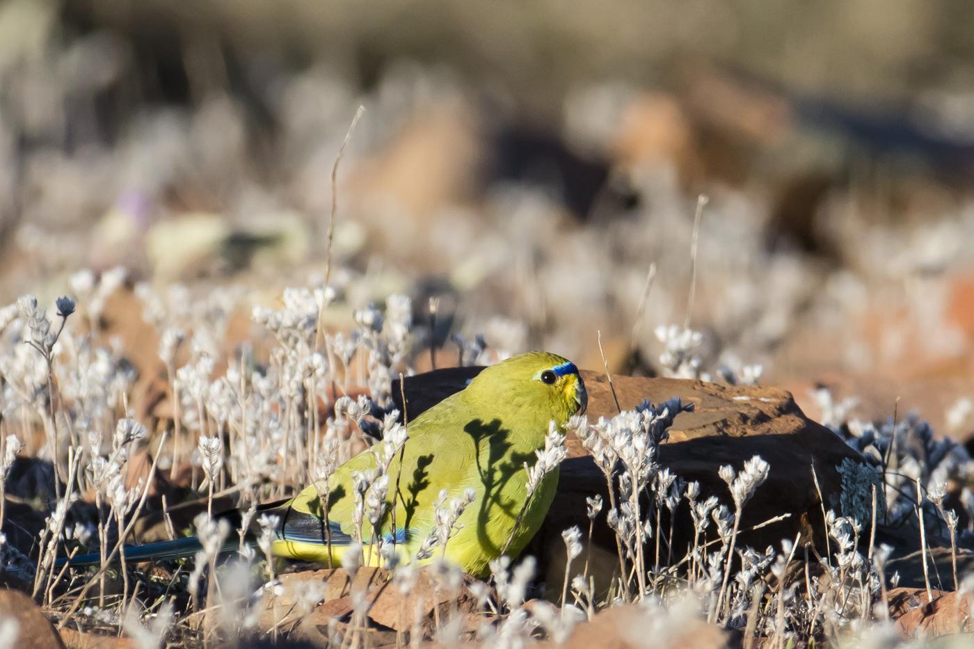 Elegant Parrot (Image ID 33702)