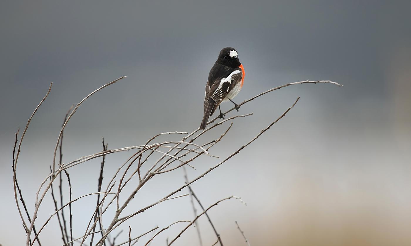 Scarlet Robin (Image ID 33652)