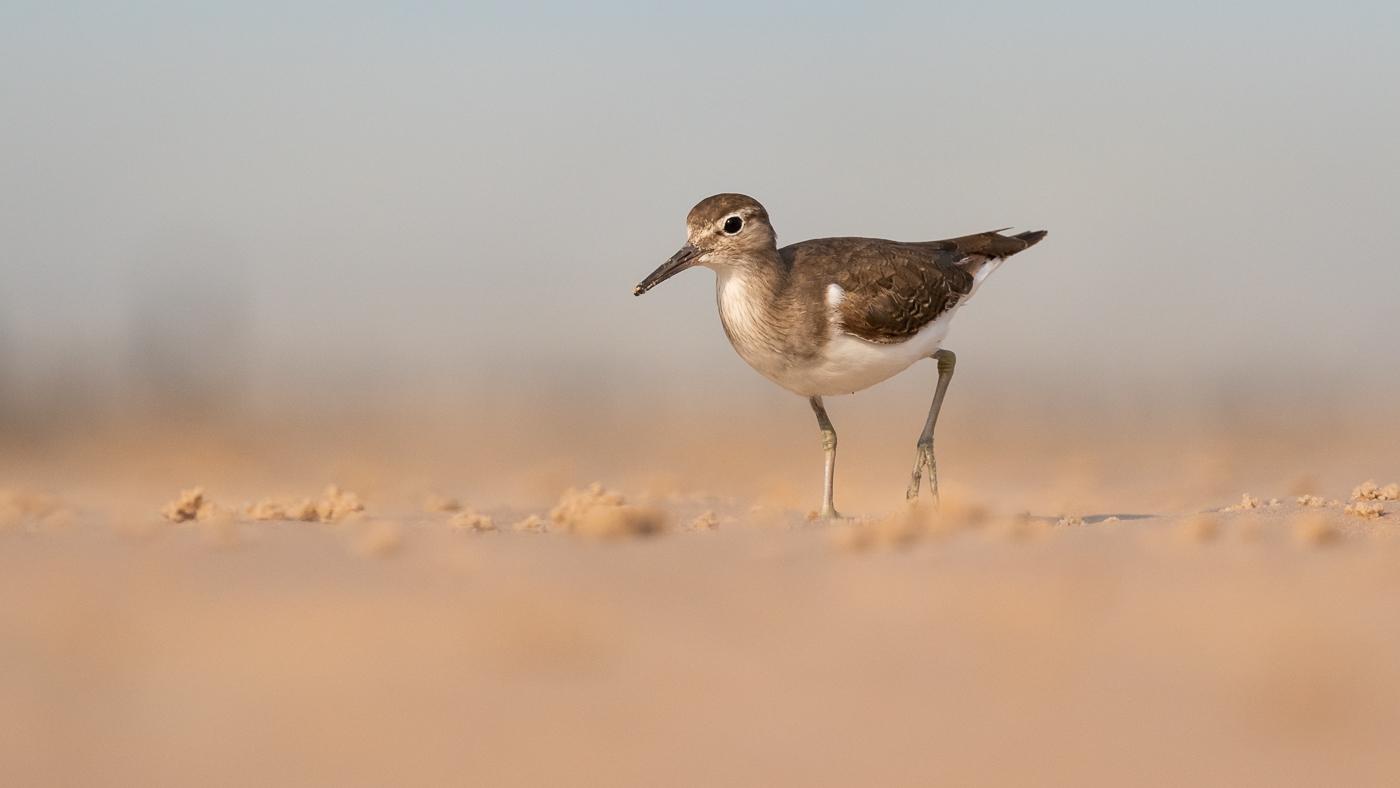 Common Sandpiper (Image ID 33852)