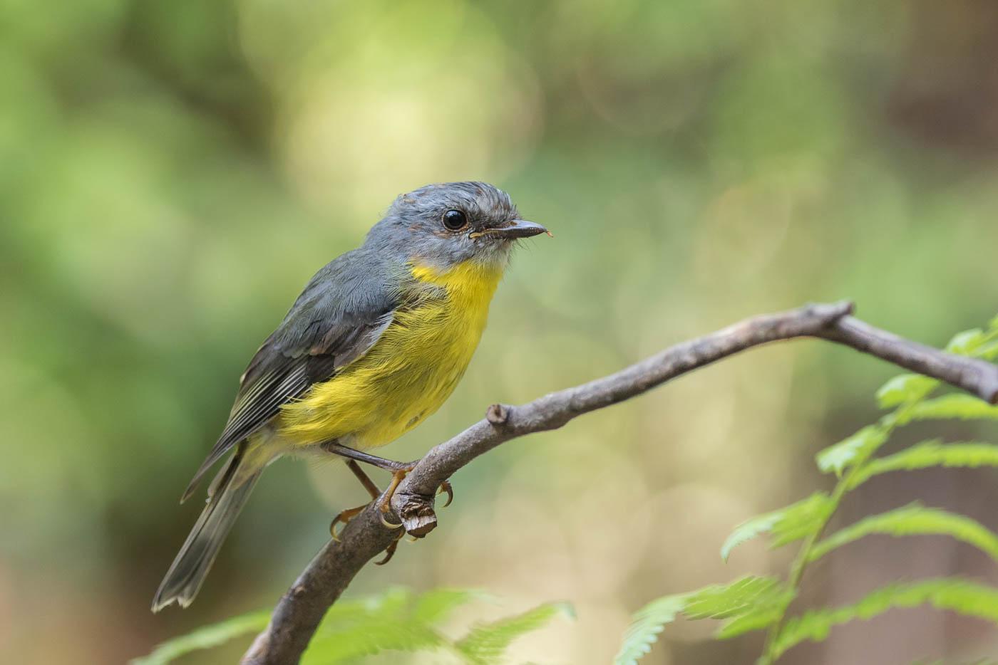 Eastern Yellow Robin (Image ID 33670)