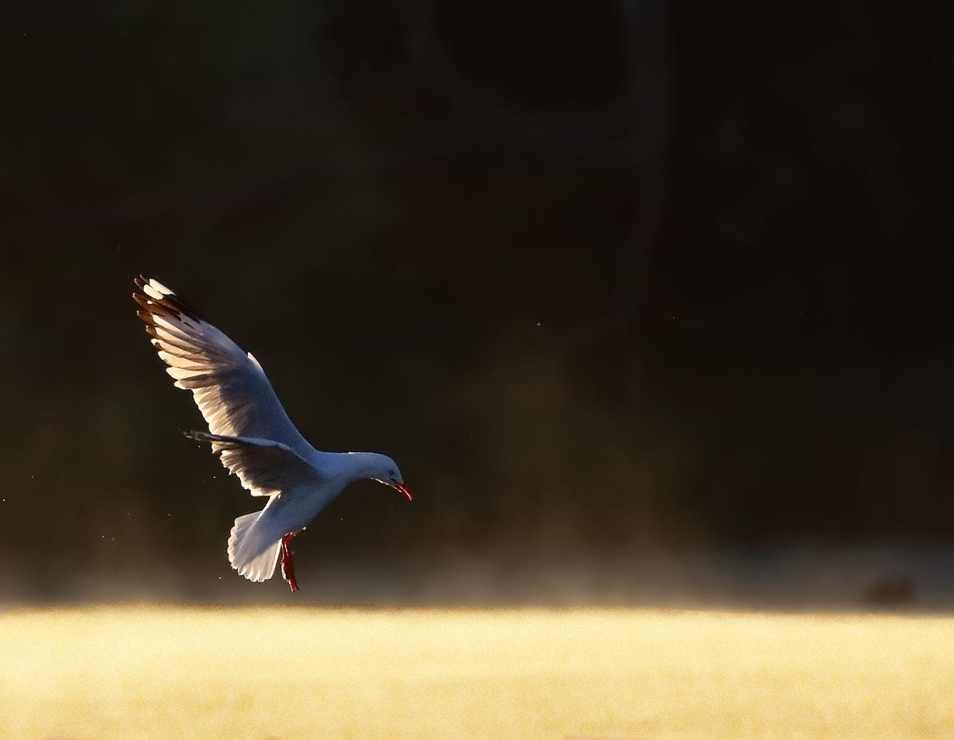 Silver Gull (Image ID 33336)