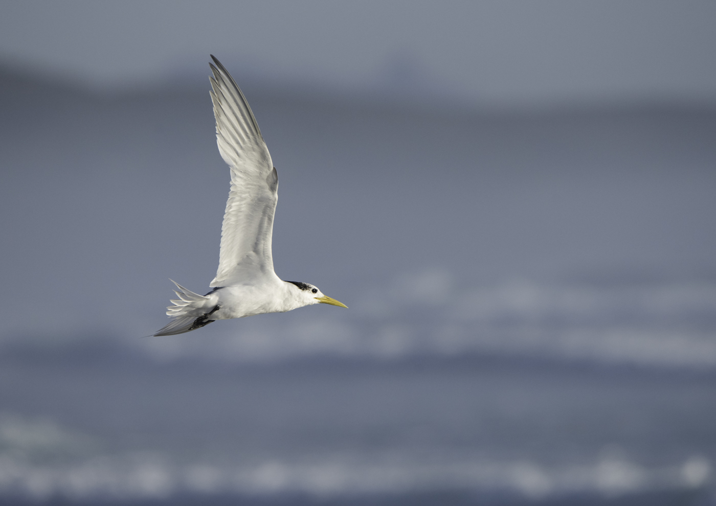 Crested Tern (Image ID 34275)
