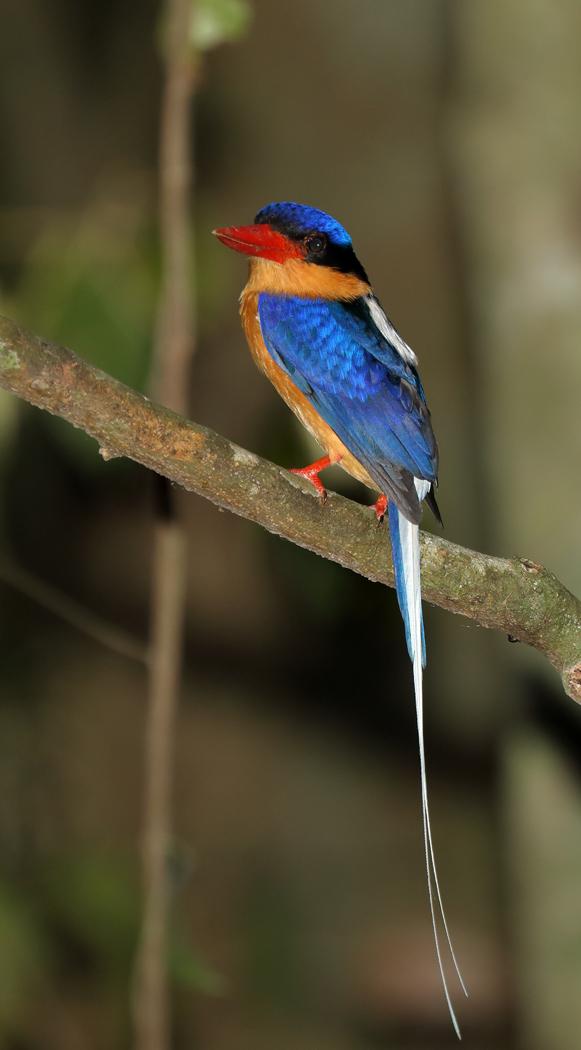 Buff-breasted Paradise-Kingfisher (Image ID 34238)