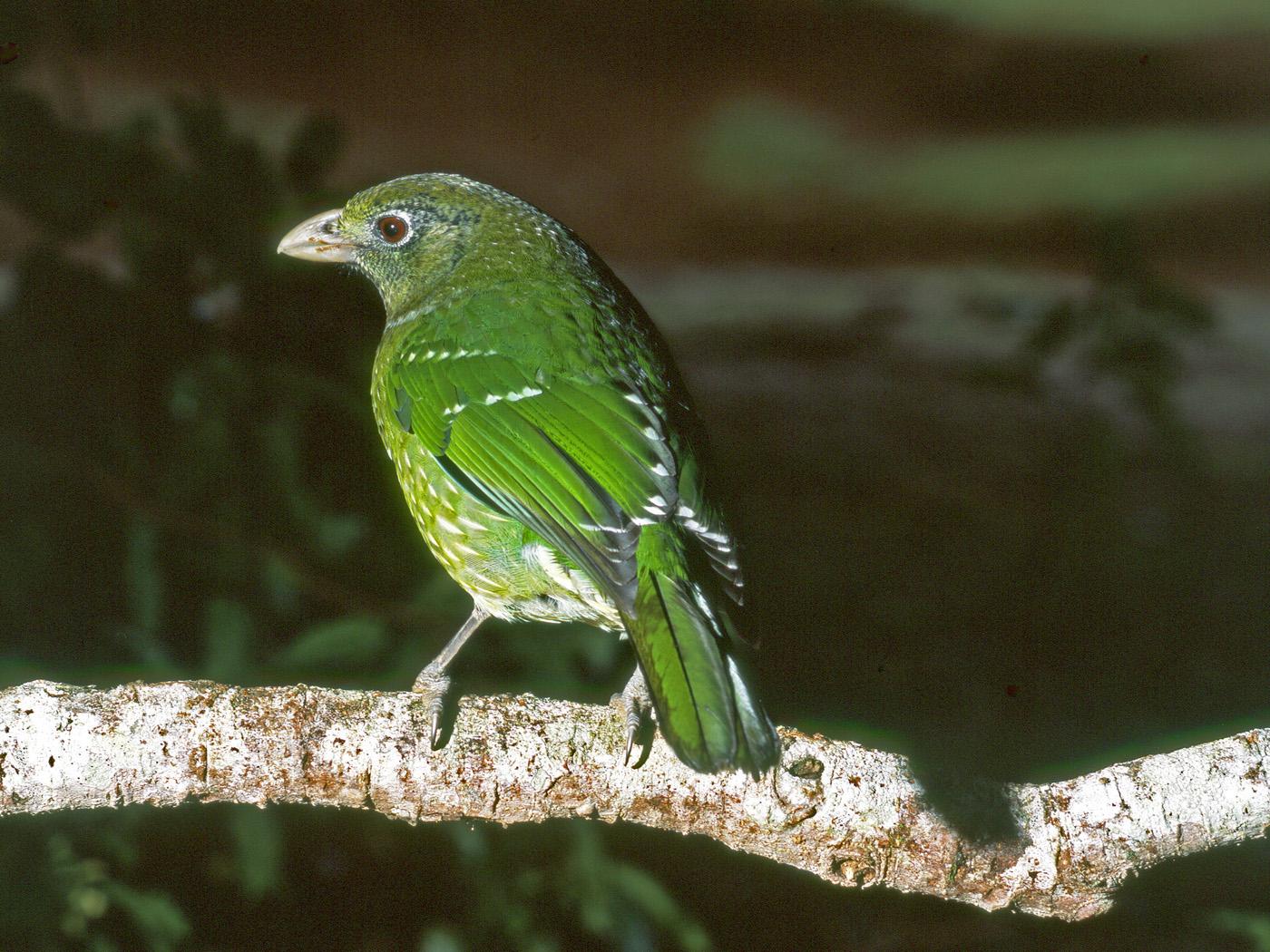 Green Catbird (Image ID 34120)