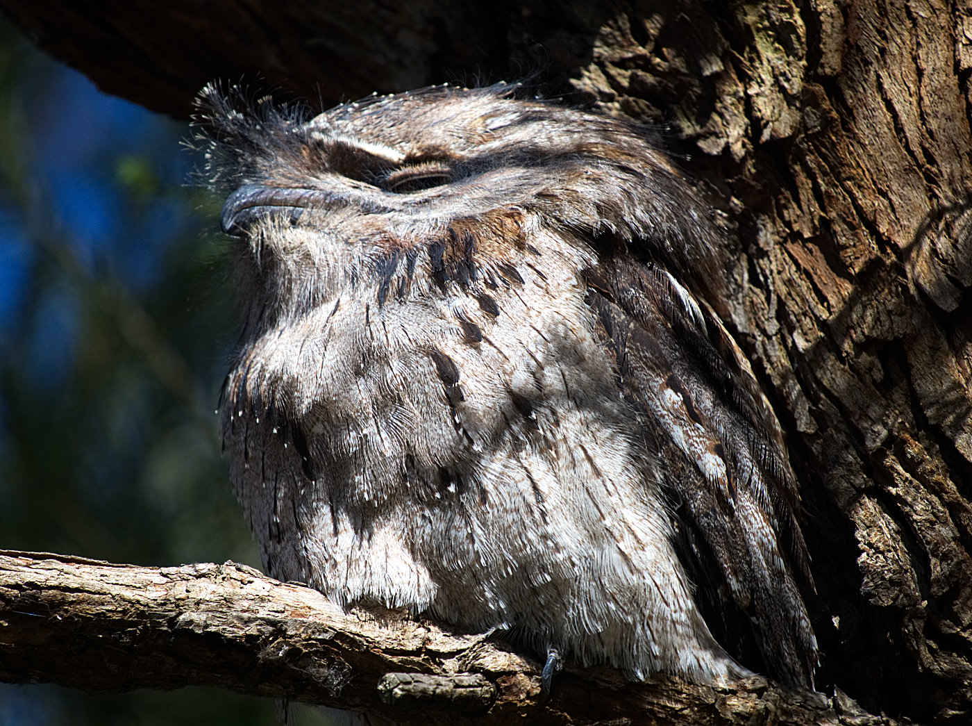 Tawny Frogmouth (Image ID 34047)