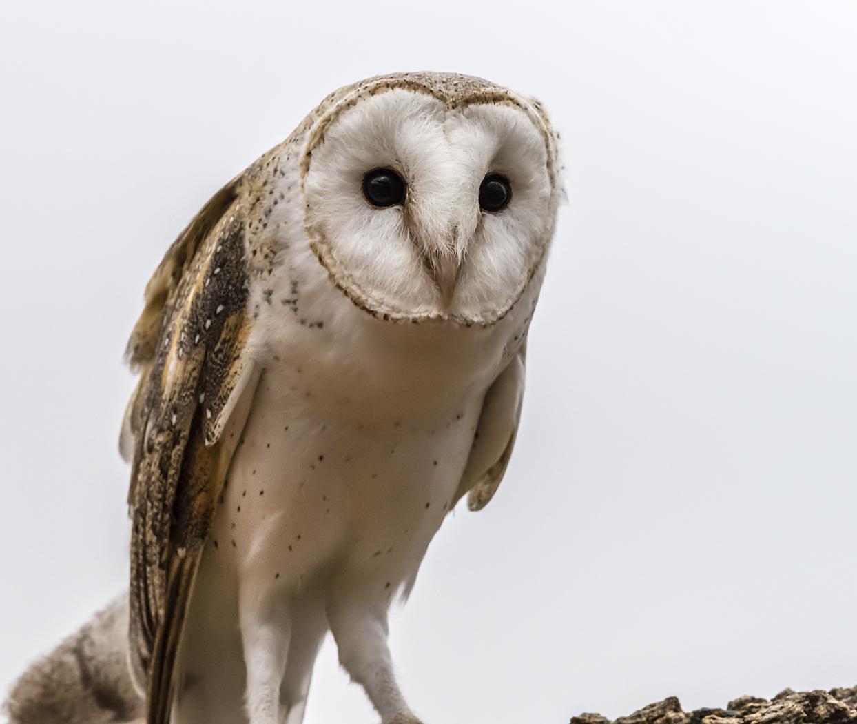 Barn Owl (Image ID 34334)
