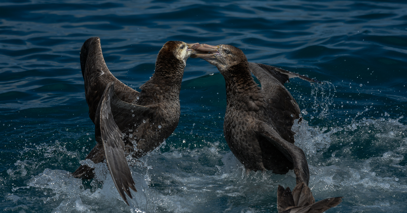 Northern Giant-Petrel (Image ID 34170)