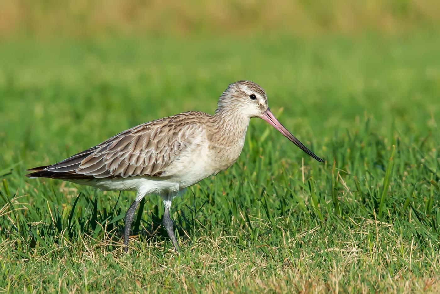 Bar-tailed Godwit (Image ID 34030)