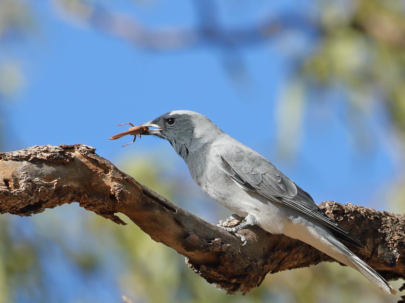 Black-faced Cuckoo-shrike (Image ID 34126)