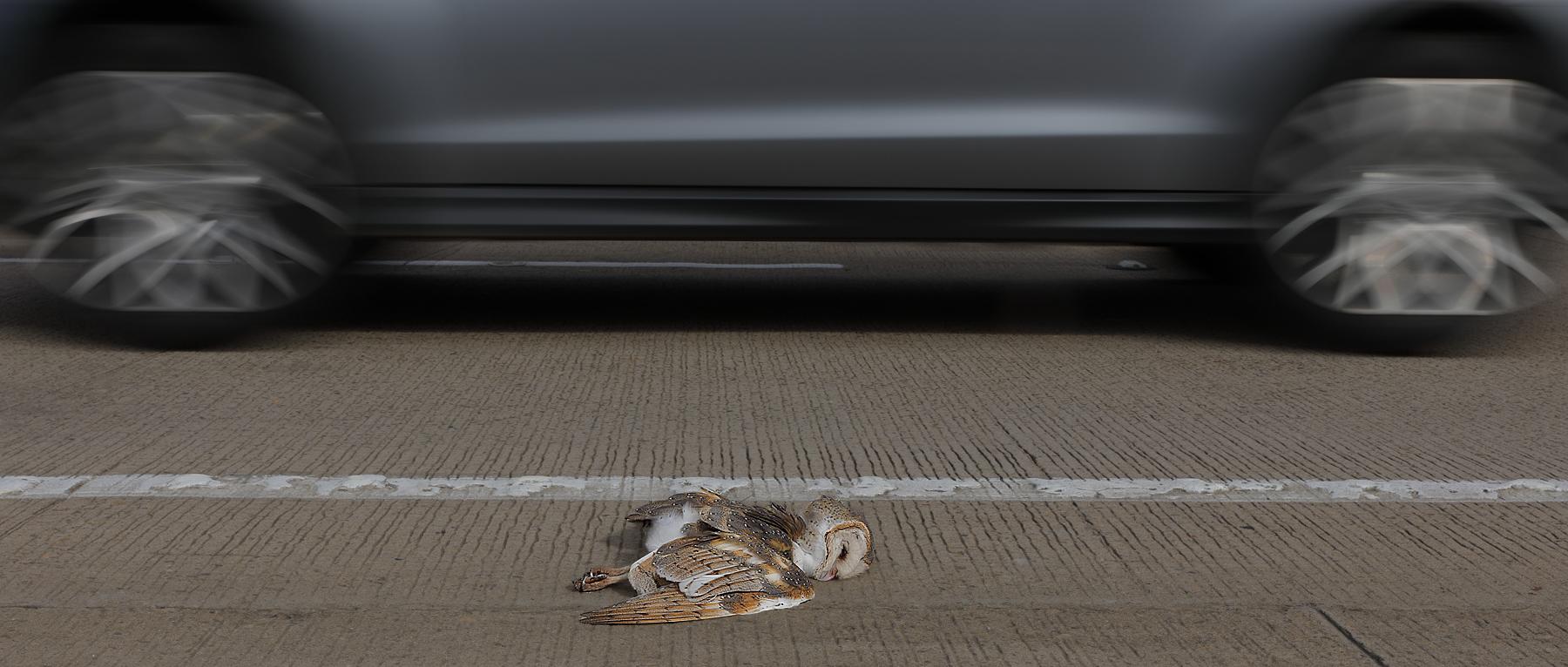 Barn Owl (Image ID 34052)