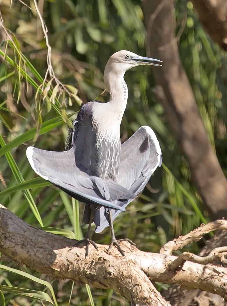 White-necked Heron (Image ID 33974)