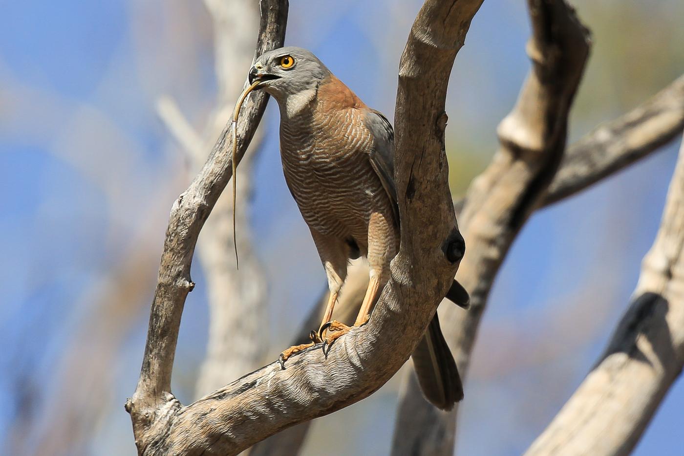 Brown Goshawk (Image ID 34290)