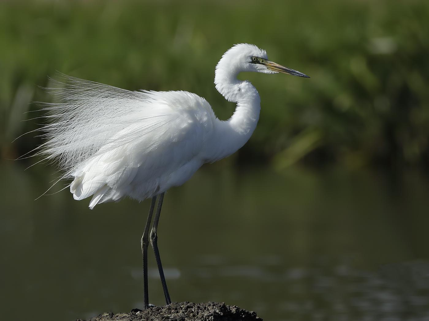 Great Egret (Image ID 33906)