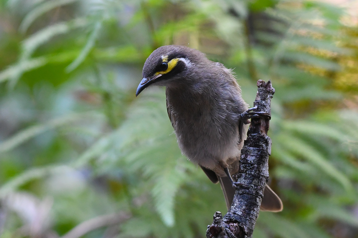 Yellow-faced Honeyeater (Image ID 34188)