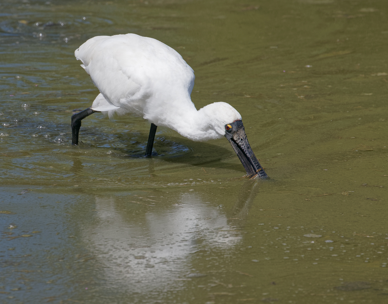 Royal Spoonbill (Image ID 34183)