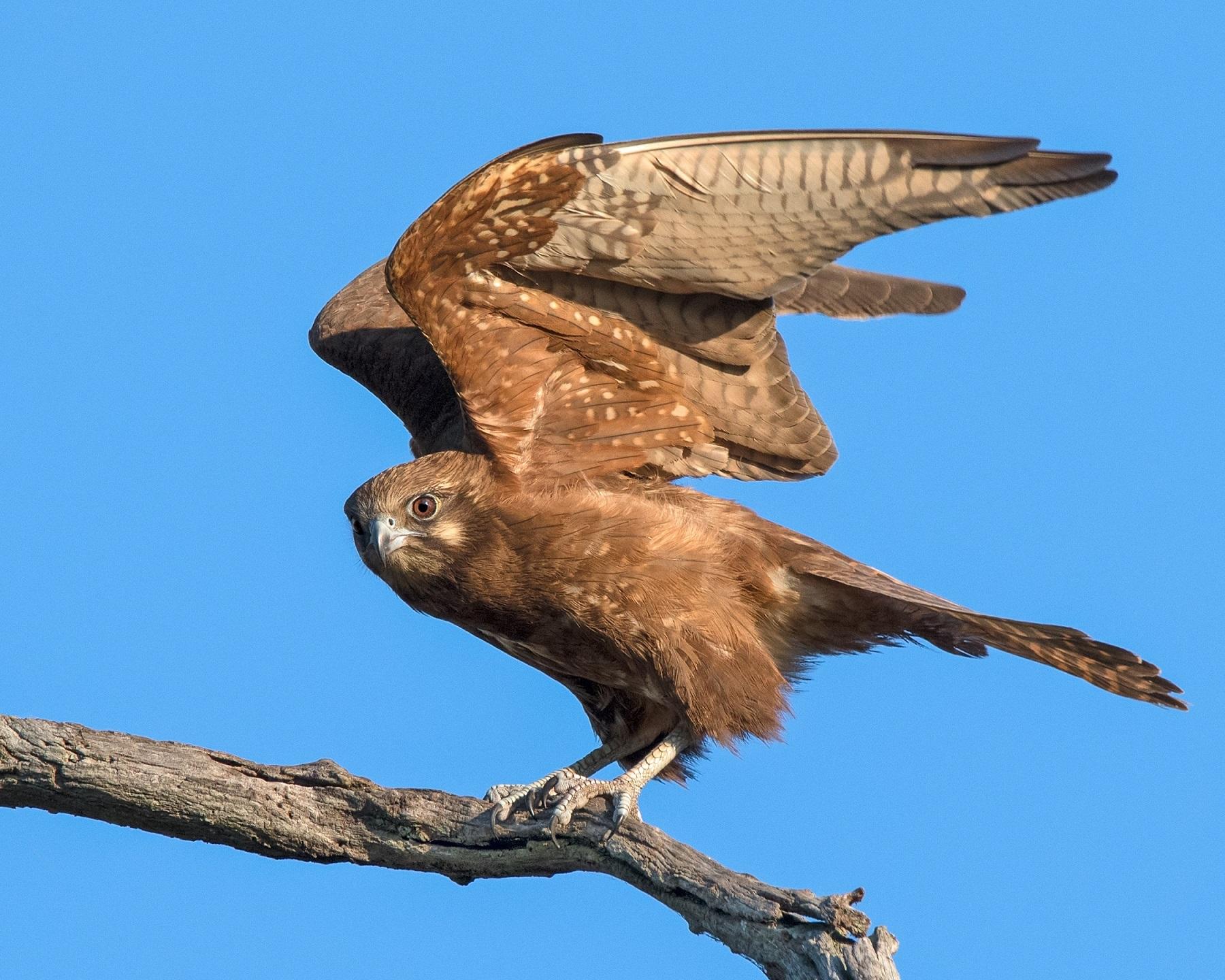 Brown Falcon (Image ID 34271)