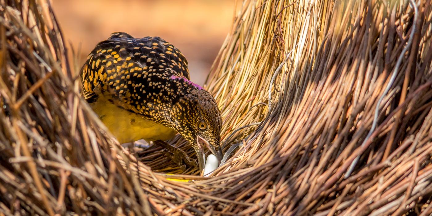 Western Bowerbird (Image ID 34267)