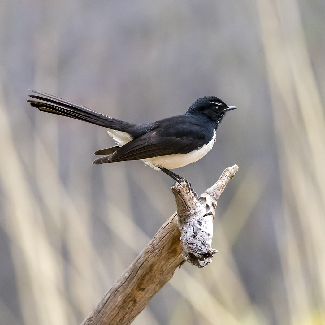 Willie Wagtail (Image ID 34325)