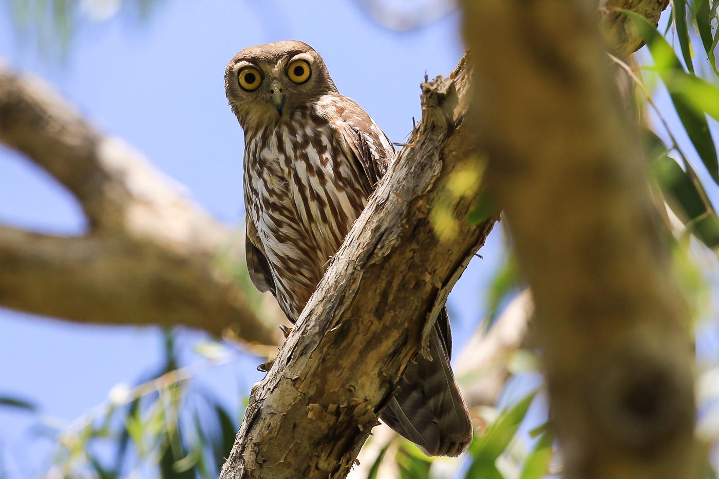 Barking Owl (Image ID 34045)