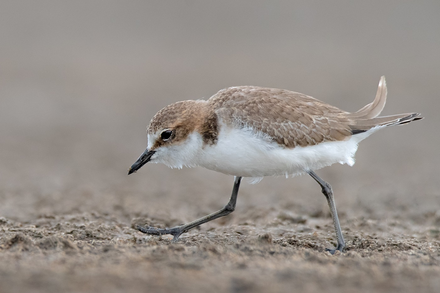 Red-capped Plover (Image ID 34350)