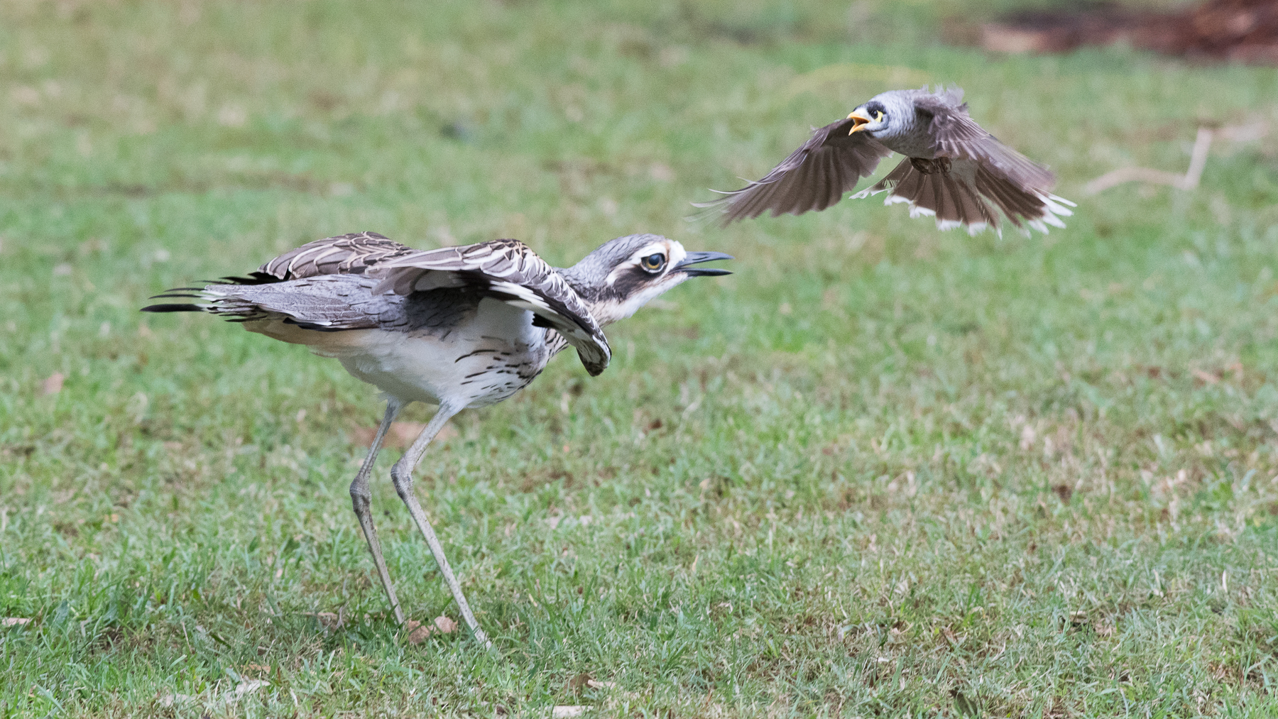 Bush Stone-curlew, Noisy Miner (Image ID 34112)