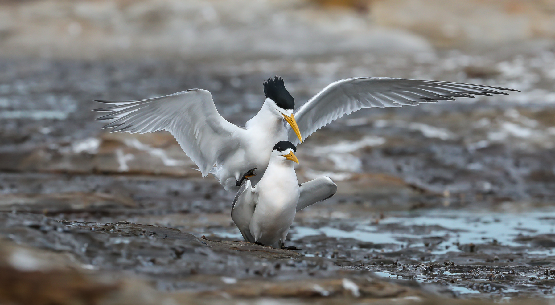 Crested Tern (Image ID 34207)