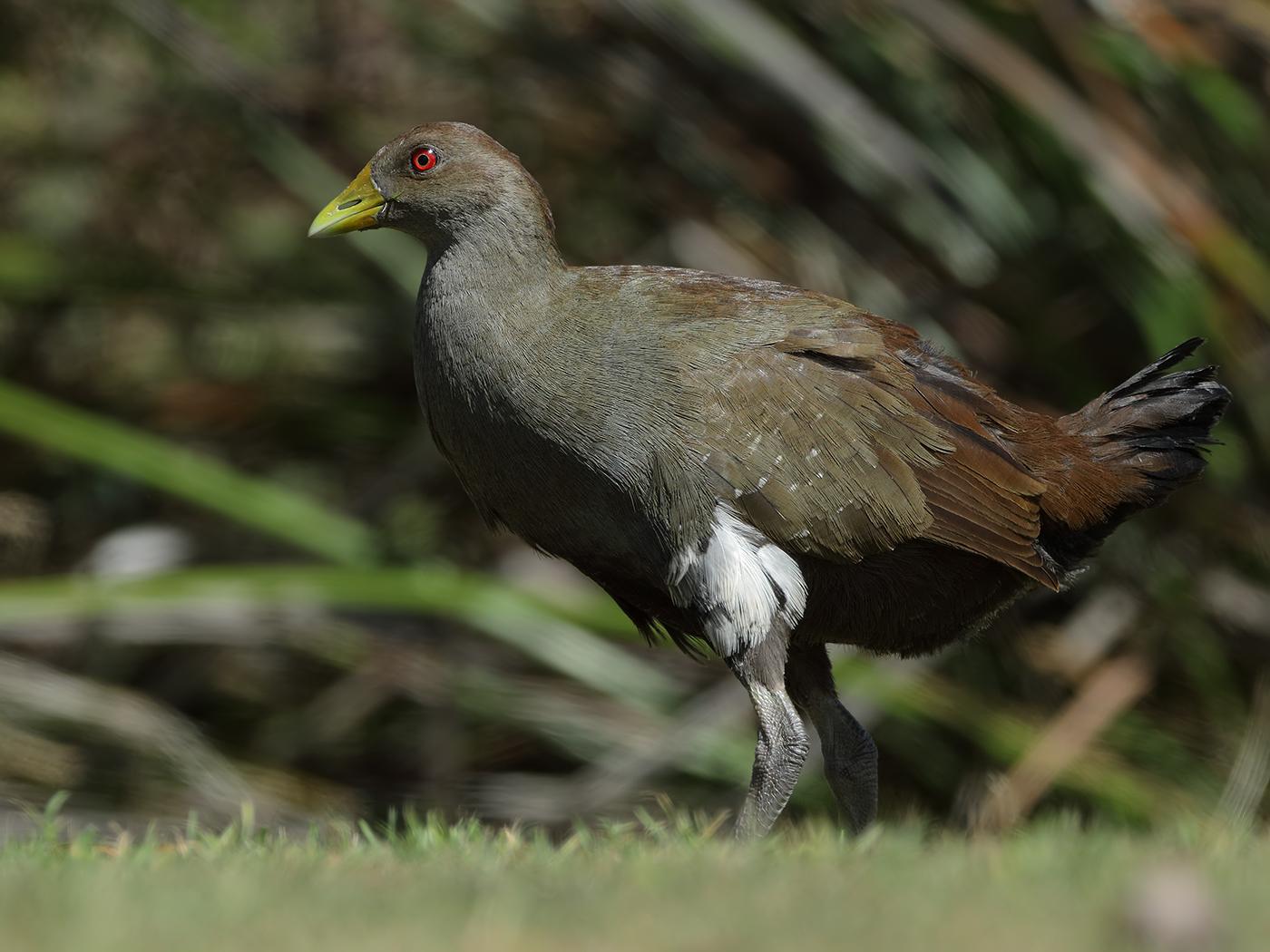 Tasmanian Native-hen (Image ID 34152)