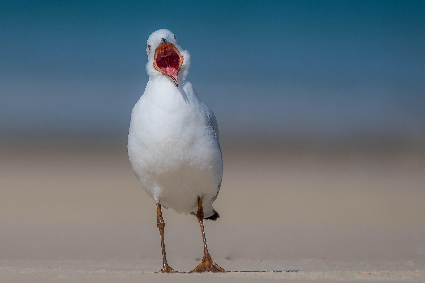 Silver Gull (Image ID 34262)
