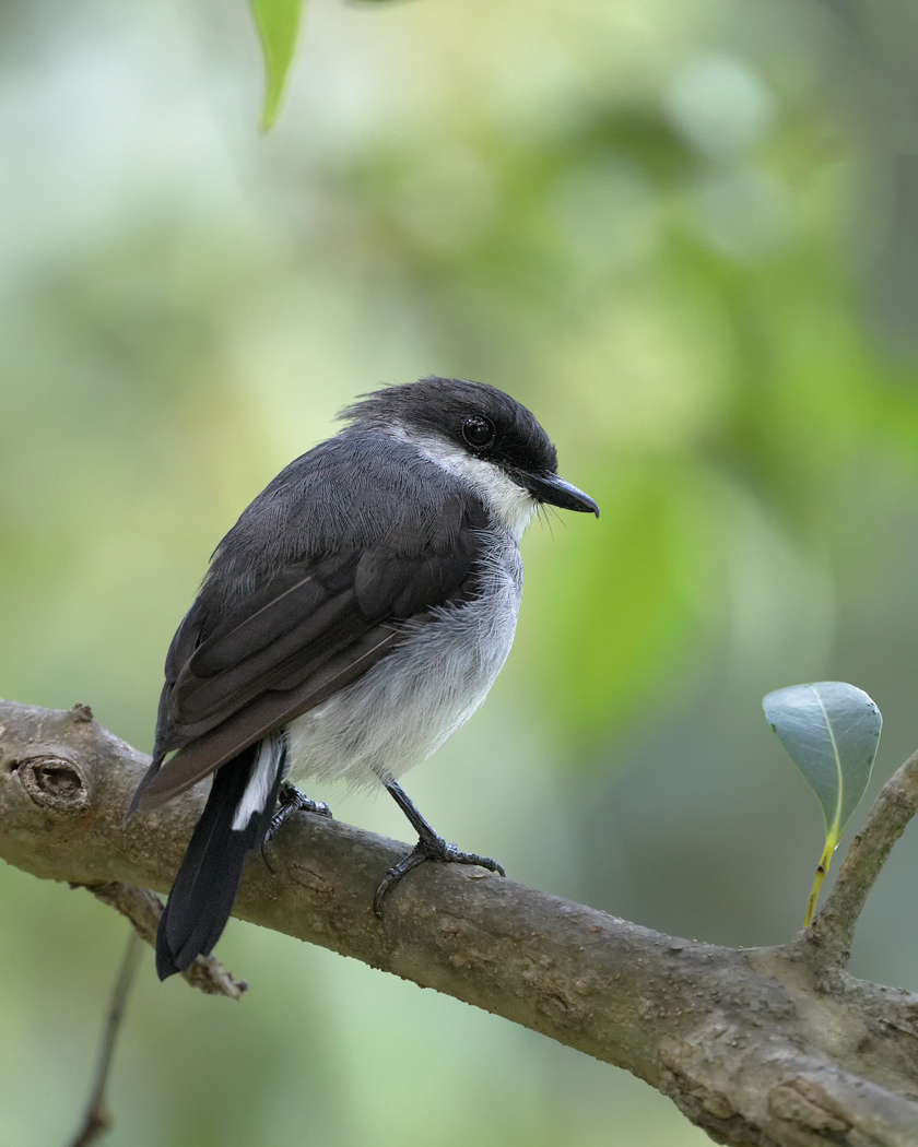 Mangrove Robin (Image ID 34104)