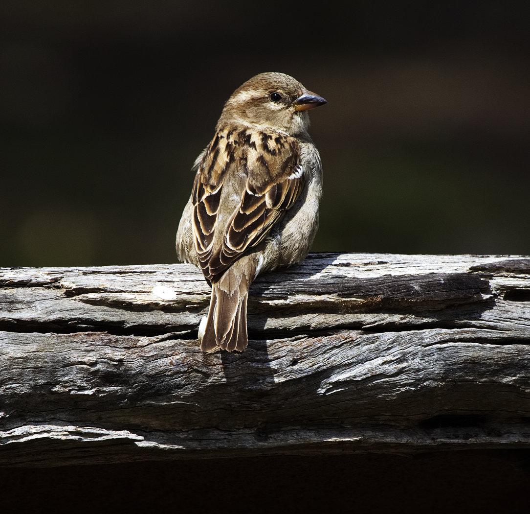 House Sparrow (Image ID 34049)