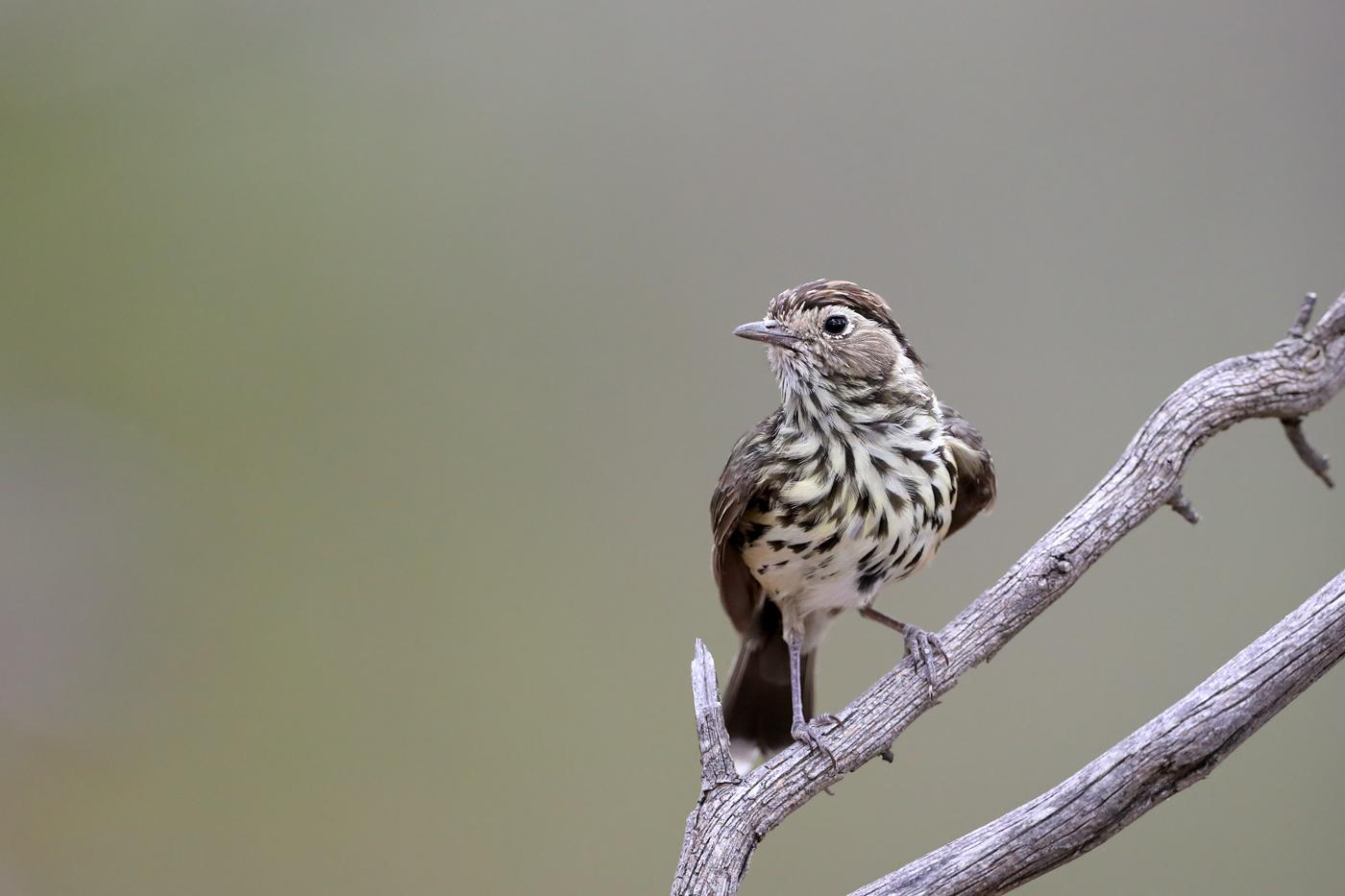 Speckled Warbler (Image ID 34063)