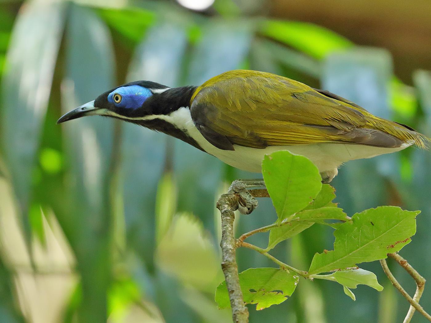 Blue-faced Honeyeater (Image ID 34125)