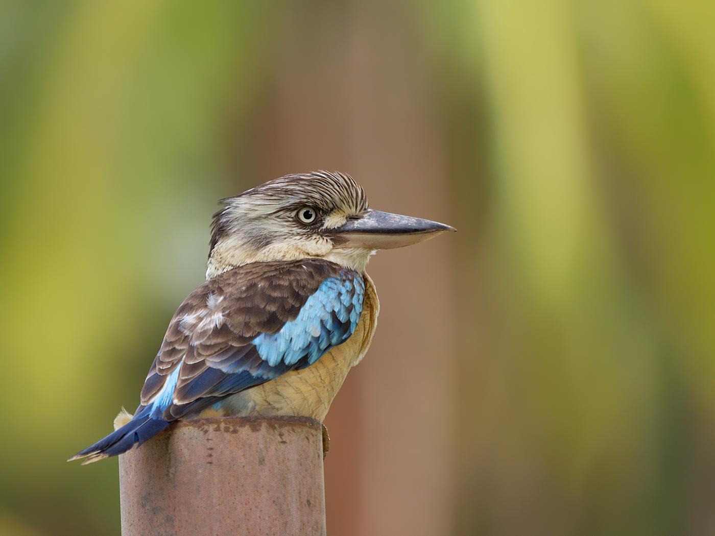 Blue-winged Kookaburra (Image ID 33903)