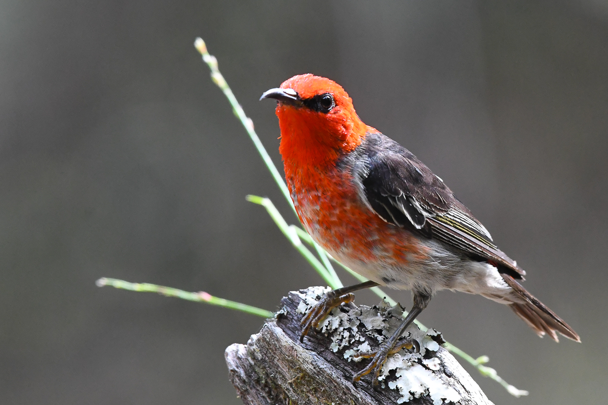 Scarlet Honeyeater (Image ID 34337)