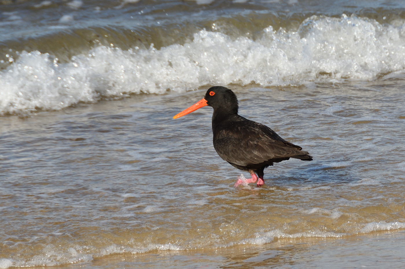 Sooty Oystercatcher (Image ID 34019)