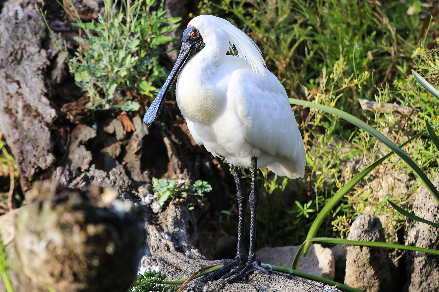 Royal Spoonbill (Image ID 34078)