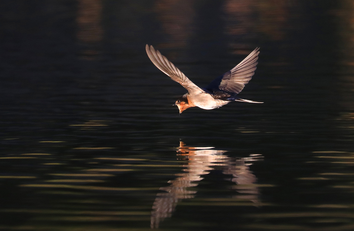 Welcome Swallow (Image ID 34167)