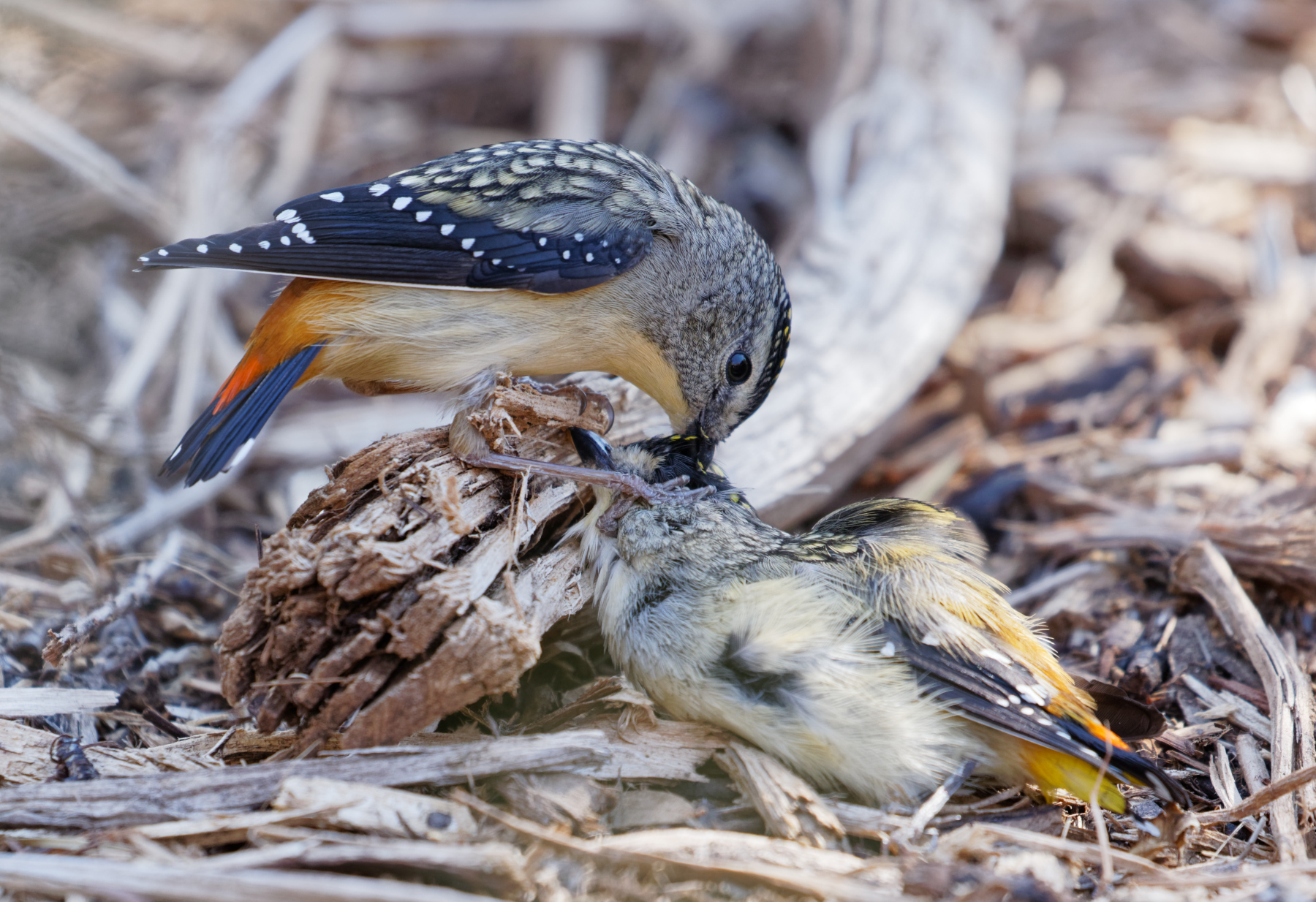 Spotted Pardalote (Image ID 34283)