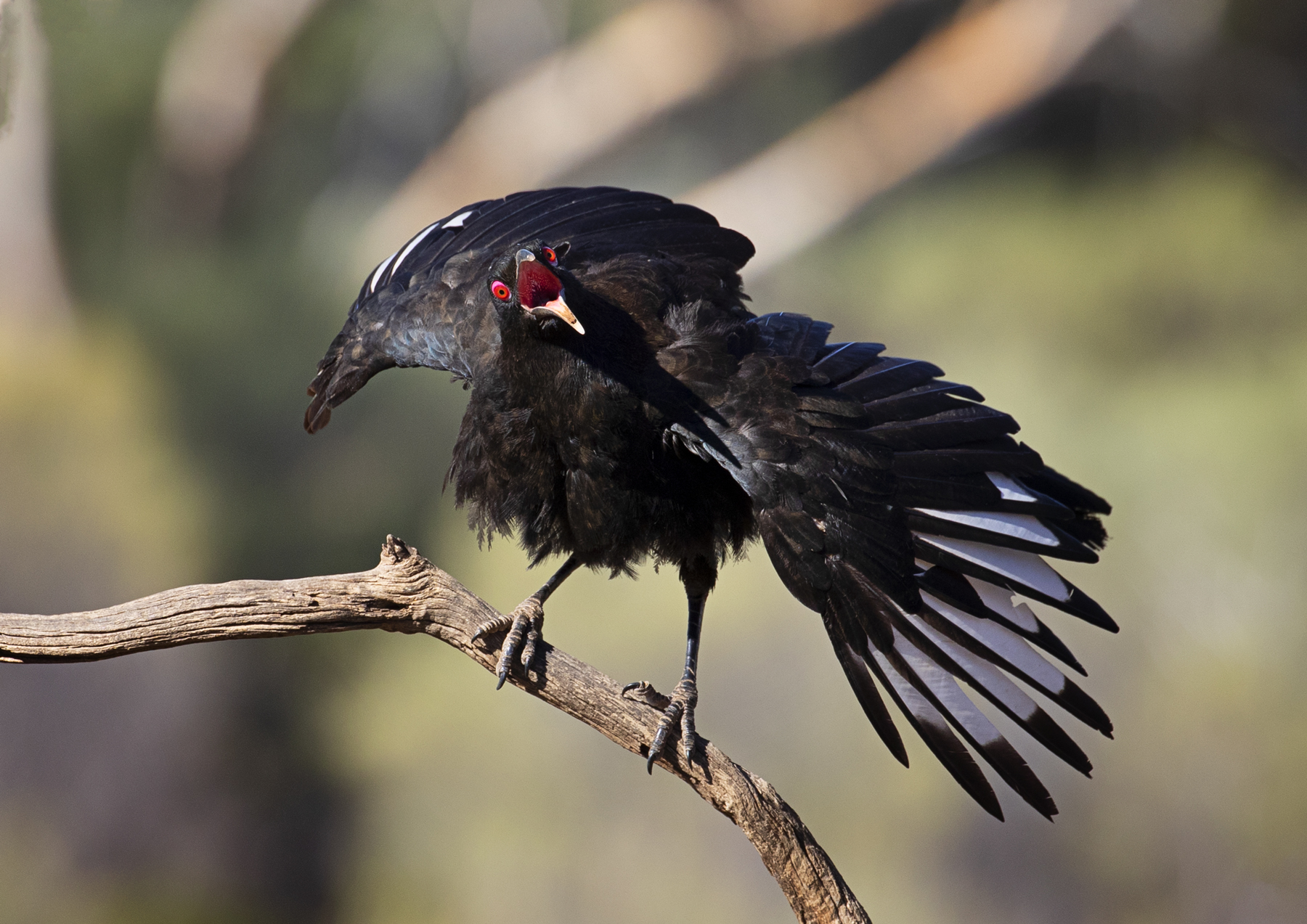 White-winged Chough (Image ID 33976)
