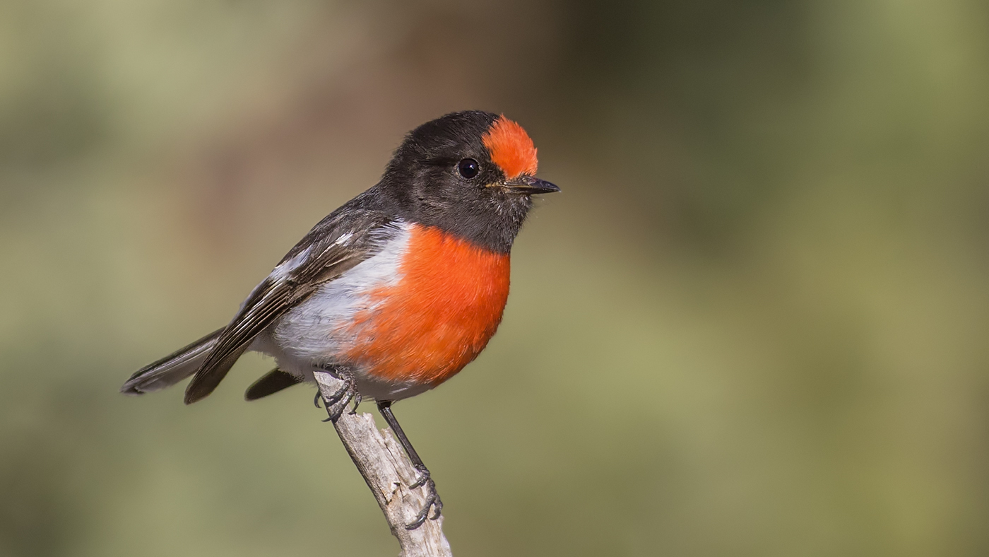 Red-capped Robin (Image ID 34288)